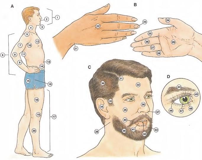 Partes del cuerpo HUMANO vocabulario en INGLES - VOCABULARY HUMAN BODY